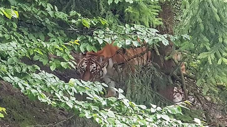 Tigerweibchen Irina wurde nach dem Angriff auf ihre Pflegerin nicht eingeschläfert.