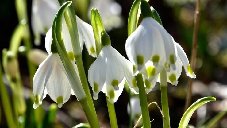 Friedlich und wunderschön zeigen sich die Märzbecher