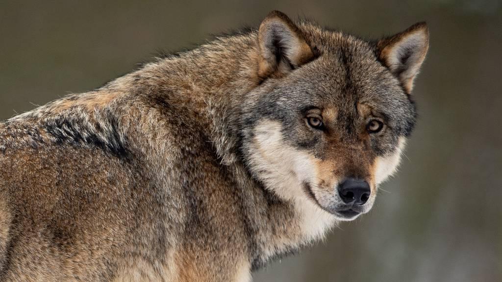 Wieder reisst ein Wolf ein Schaf in Unterschächen