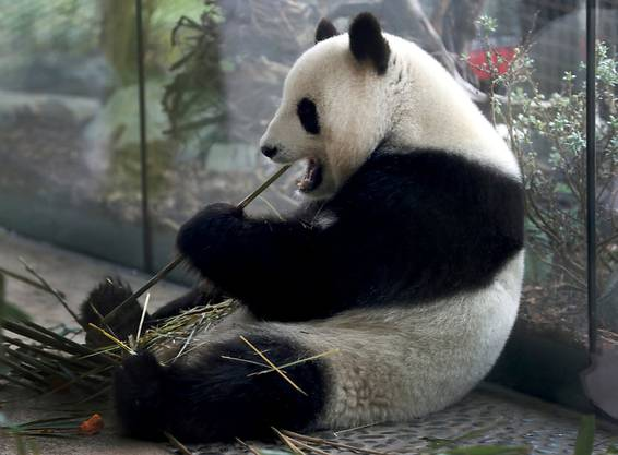Die Pandadame Meng Meng hat in Berlin am Wochenende ihren Nachwuchs geboren.