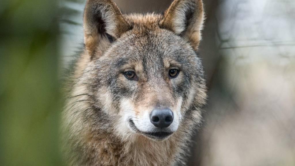 Der Wolf ist nun auch im  Thurgau angekommen. (Symbolbild)