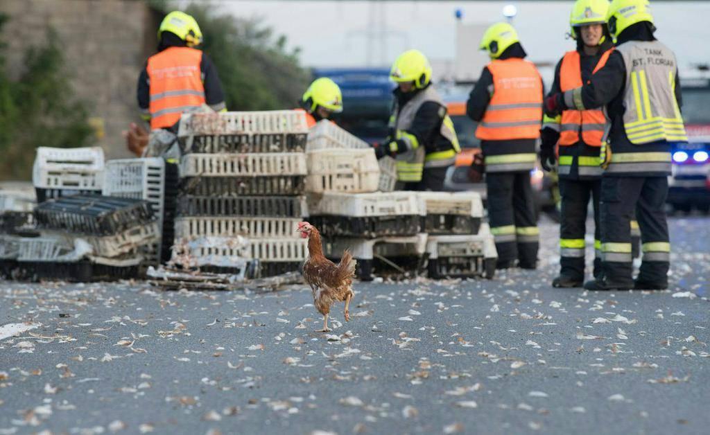 Hühner auf Autobahn