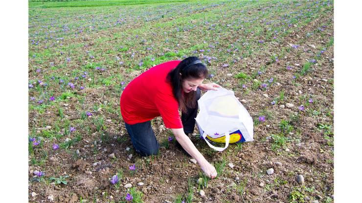 Silvia Bossard beim Ernten auf dem grossen Safran-Feld in Hendschiken.