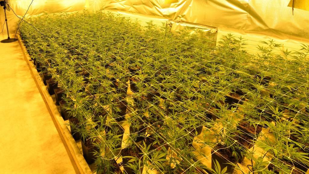 Ausserrhoder Polizei hebt zwei Hanfplantagen aus