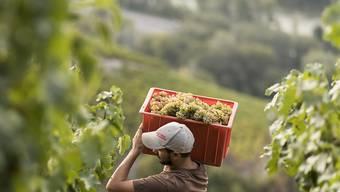 Schweizer Bauern bei der Weinernte (Archivbild).