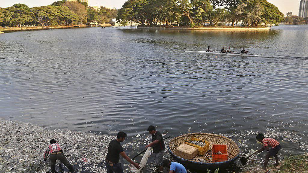Gemeindearbeiter fischen die toten Fische aus dem Ulsoorsee: Ursache des Massensterbens ist die starke Verschmutzung in Kombination mit der erhöhten Wassertemperatur.