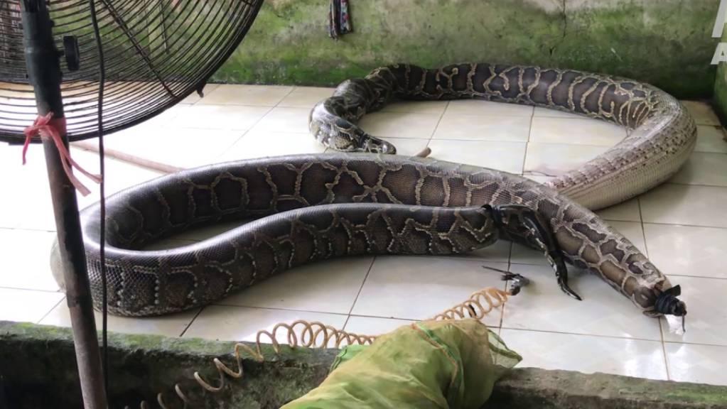 HANDOUT - Das von der Tierschutzorganisation Peta zur Verfügung gestellte Foto zeigt aufgeblasene Schlangen auf einer Reptilienfarm (undatierte Aufnahme). Foto: -/Peta/dpa - ACHTUNG: Nur zur redaktionellen Verwendung im Zusammenhang mit der Berichterstattung mit vollständiger Nennung des vorstehenden Credits