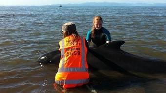 Helfer hatten die Wale am Dienstag zurück in tieferes Wasser bugsiert - doch die Tiere verirrten sich später erneut ans Land (Archiv)