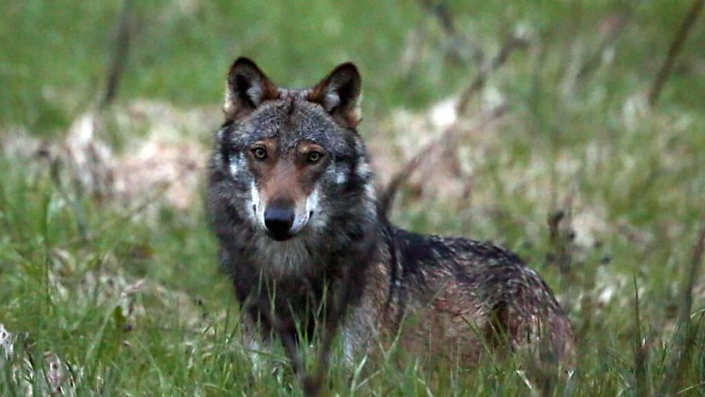 Im Kanton Zug wurde ein Wolf fotografiert