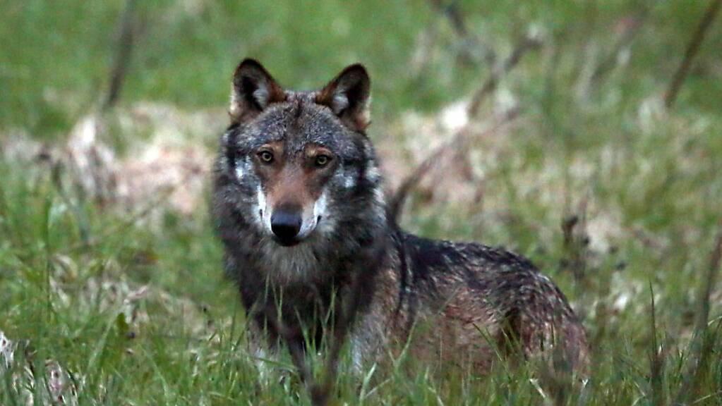 Im Kanton Zug hat das Amt für Jagd und Wald einen Wolf vor die Kamera gekriegt. (Themenbild).