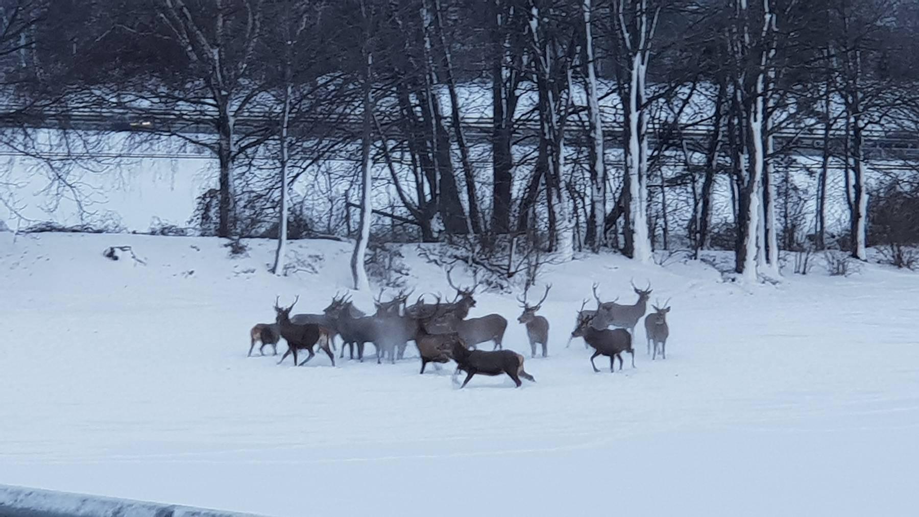 Damit die 15 Hirsche eine Strasse überqueren können, stoppte die Polizei den Verkehr.