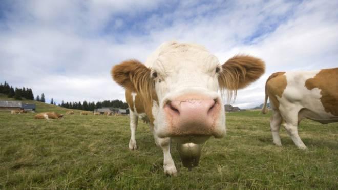 Die Idylle trügt: Weidende Kühe sind grossem Lärm ausgesetzt. Foto: Istock