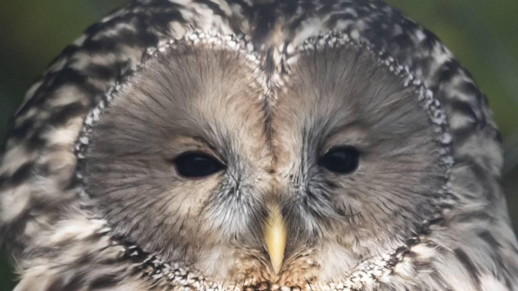 Lautlose Jäger: Zoo Zürich züchtet neu Habichtskäuze