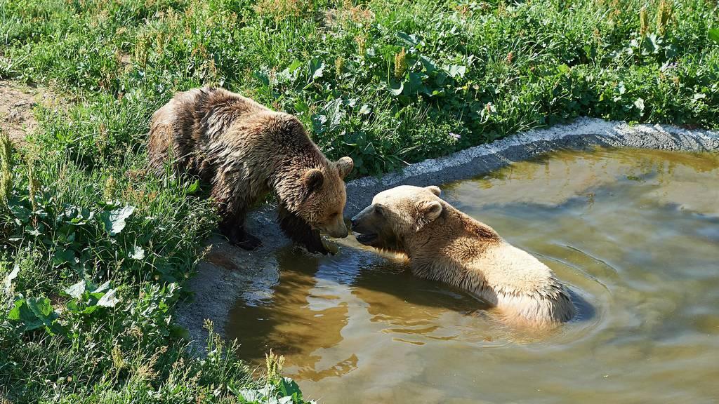 So herzig baden die Aroser Bären