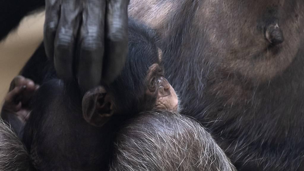 Nachwuchs bei den Schimpansen im Basler Zolli