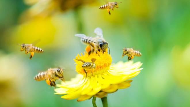 Können einiges wegstecken: Der Bestand an Honigbienen sinkt global nicht. Foto: Thinkstock
