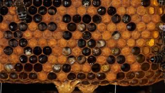 Zersetzte Larven: Die Sauerbrut verwandelt den Bienennachwuchs in eine breiige Masse.