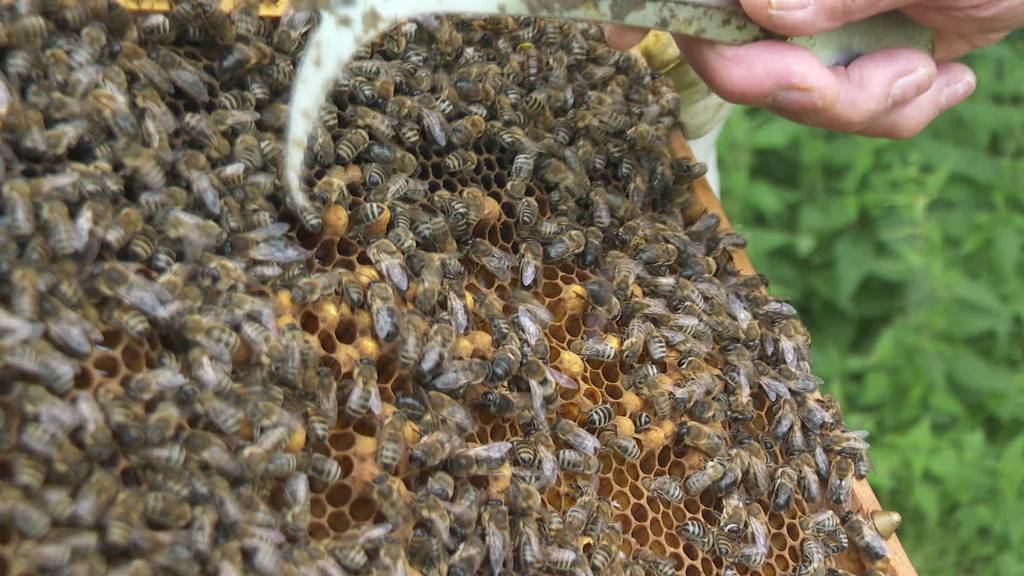 Bienenferien: Appenzeller Bienen pflücken Nektar in Arosa