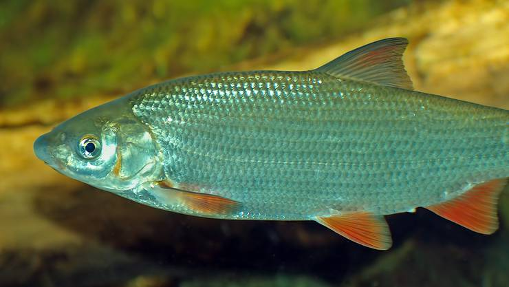 Chondrostoma Nasus, Nase, Naesling oder Nasenfisch wird der vom Aussterben bedrohte Fisch genannt.