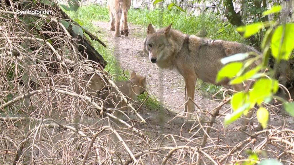 Neues Jagdgesetz: Emotionale Debatte über Lockerung vom Wolfs-Schutz