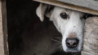 Die Hunde wurden ihnen schliesslich weggenommen und landeten im Tierheim. (Symbolhild)
