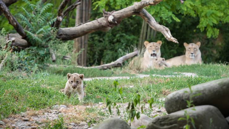 Ein Löwenwelpen erkundet das Gehege im Zoo Basel.