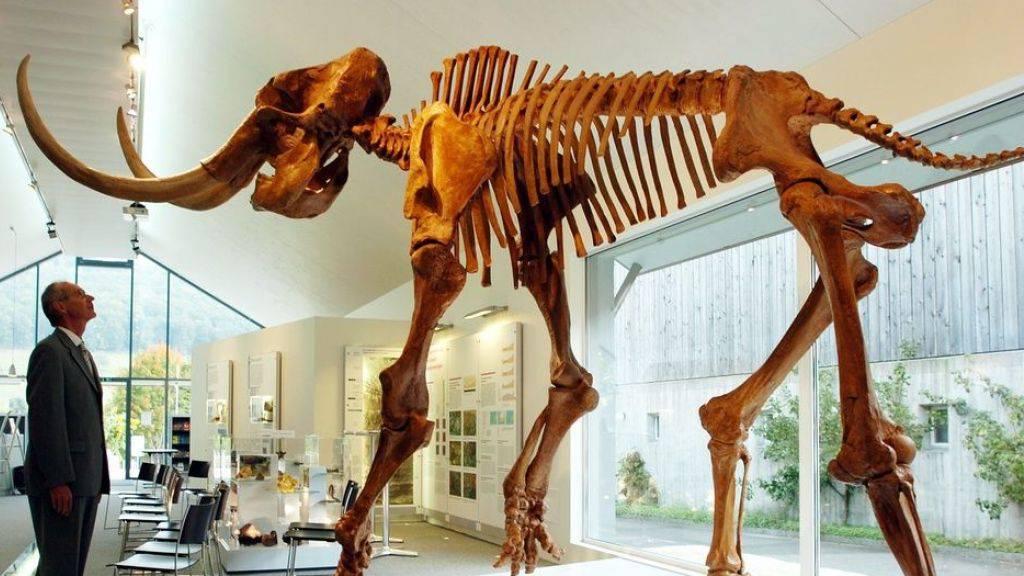 Warum letzte Mammuts auf einer Insel starben