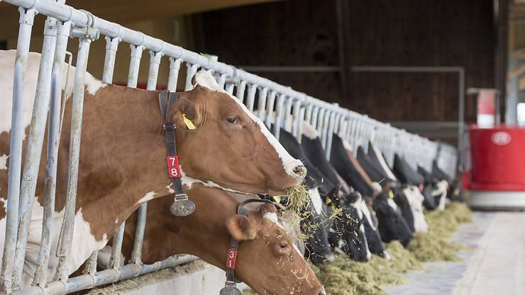 Weil bereits das Futter für die Kühe teurer ist als im Ausland, ist der Preis bei den tierischen Erzeugnissen wie Milch oder Fleisch nochmals höher. (Symbolbild)