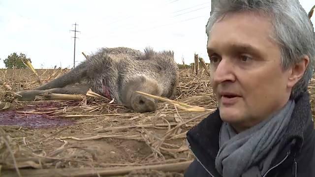 Wildschwein-Killer vor Gericht
