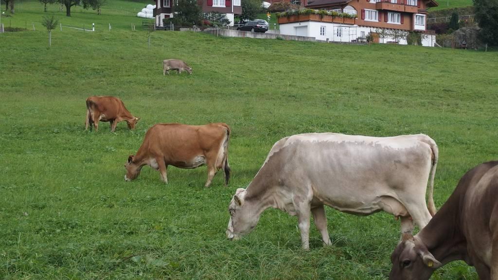 Kühe reden über ihre Gefühle