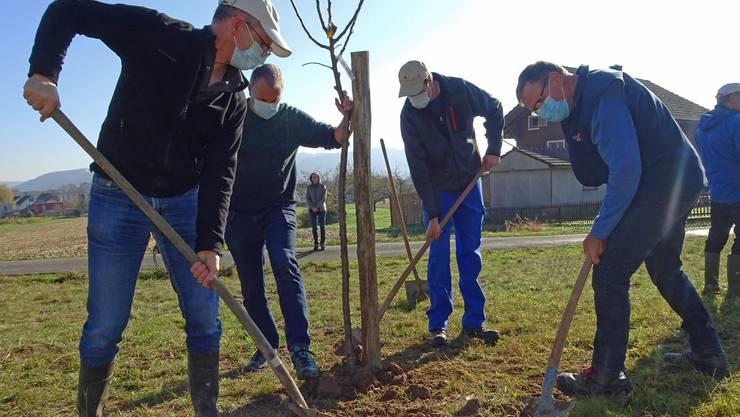 Thomas Hersche, Roger Wirz, Walter Husy und Heinz Lüscher beim Pflanzen des Obstbaumes