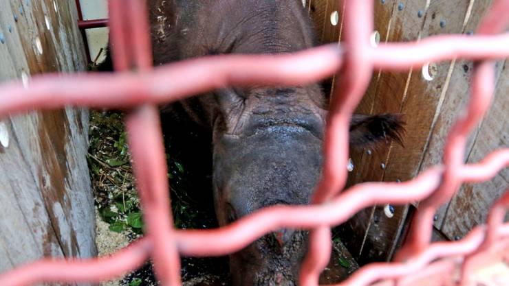 Der achtjährige Bulle Harapan aus dem Zoo von Cincinnati während seiner Reise nach Sumatra