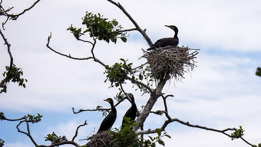 Nach Angaben der Schweizerischen Vogelwarte Sempach gab es 2018 landesweit rund 2400 Brutpaare des Kormorans. Mehr als die Hälfte davon brüten am Neuenburgersee.