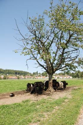 Die ganze Herde versammelt sich unter dem Baum im Schatten