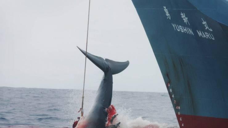 Die Crew eines japanischen Walfangschiffes zieht ein mit einer Harpune gejagtes Tier an Bord. (Archivbild)