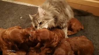 Katze Susa hilft mit, die Welpen sauber zu lecken: Der Bericht von TeleM1.