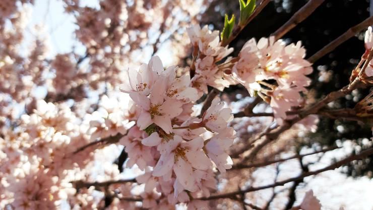 Japanischer Kirschbaum in Oetwil an der Limmat, aufgenommen an einem sonnigen Sonntagmittag.