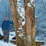 Förster Urs Huber in Oberlunkhofen beim Überbleibsel einer 150 Jahre alten Eiche, die 1999 dem Orkan Lothar zum Opfer fiel.