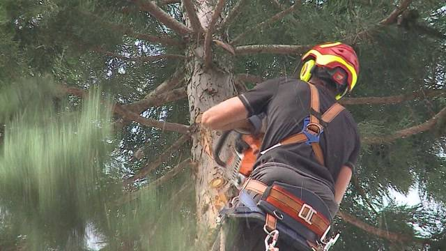 Koloss weicht für Schulhausplatz: Der Mammutbaum in Baden ist nicht mehr. Der rund 40-jährige Riese wurde gefällt und in gut 3 Stunden zu Kleinholz verarbeiten.