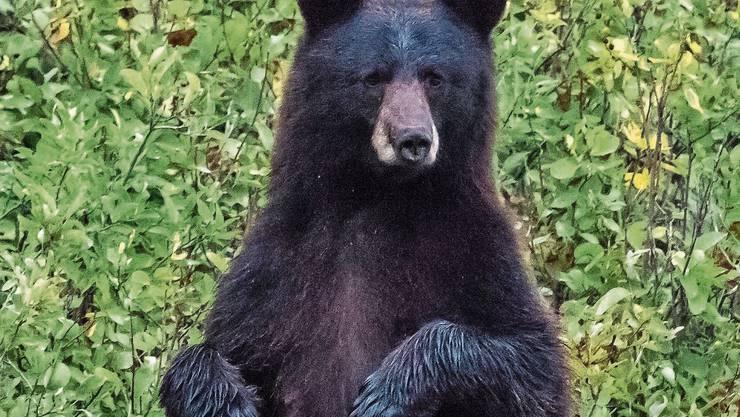 Schwarzbären überstehen das monatelange Liegen unbeschadet.