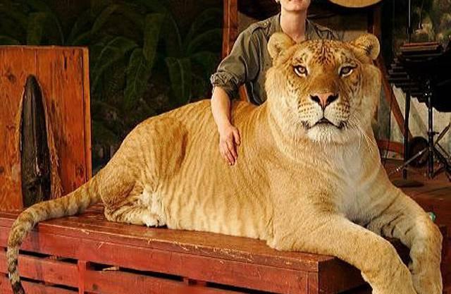 Der Liger lebt im Tierpark Jungle Islands in Florida (Miami, USA). Er wiegt knapp 410 kg, ist 335 cm lang und verputzt über 9 kg Fleisch am Tag. Das Foto stammt aus dem Jahr 2005.