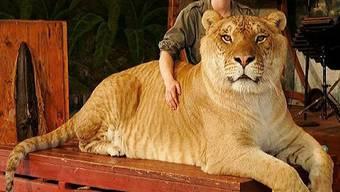 «Hercules», der grösste Liger der Welt