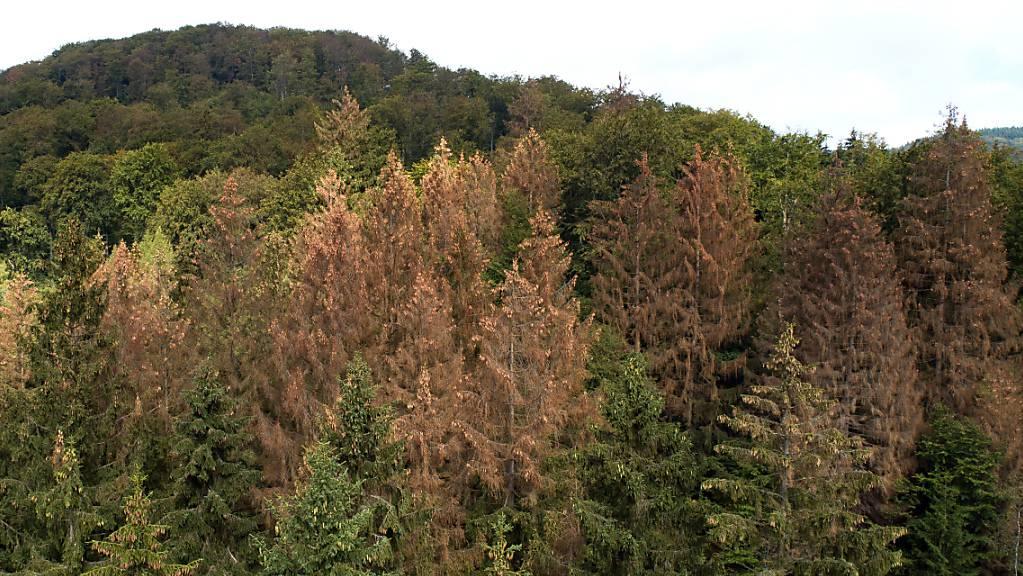 Vom Borkenkäfer befallene und abgestorbene, braune Nadelbäume in Deutschland: Der Hitzesommer 2018 hat den Wäldern in Mitteleuropa massiv zugesetzt.