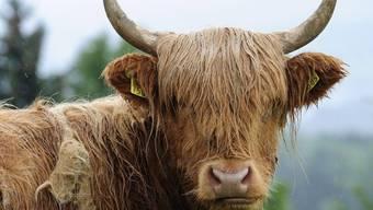 Das Rind wehrte sich, so lang es ging, gegen seine Bestimmung (Symbolbild)