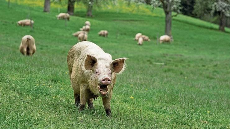 Freier Auslauf für Schweine: Solche Bilder sollen dank einer Initiative Standard werden.