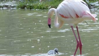 Flamingo-Nachwuchs im Hotel Florida in Studen