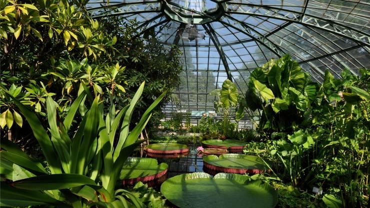 Bis zu zwei Meter breit wird die Riesenseerose Victoria. Der Botanische Garten in Basel hat extra für sie ein kuppelförmiges Gewächshaus gebaut.