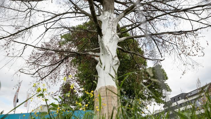Baum des Anstosses: Das Gras um ihn herum und der Nachbarsbaum zeigen sich in sattem Frühlingsgrün, derweil die Äste der berühmten Schlieremer Buche ziemlich kahl wirken. Sie solle nicht gefällt werden, fordert die IG Blutbuche.
