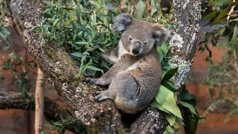 Koalas und Kängurus im Zoo Zürich