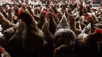 Es wird geübt, wie eine infizierte Tierhaltung abzusperren ist sowie die Reinigung und Desinfektion der Stallungen. (Symbolbild)